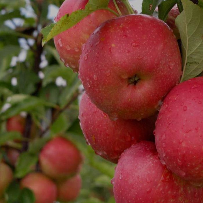 Kauffmans U-Pick - Pick apples from the branch
